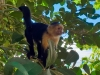 CostaRica Monkey