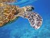 sea-turtle-547163_960_720